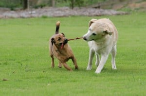 Small-dog-breeds-dogs-playing-together-300x198